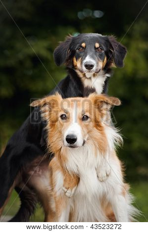 Two Cute Dog Border Collie Hug