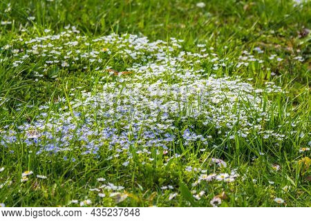 Veronica Chamaedrys Plant With Blue Flowers In The Grass For Background. Natural Spring Background