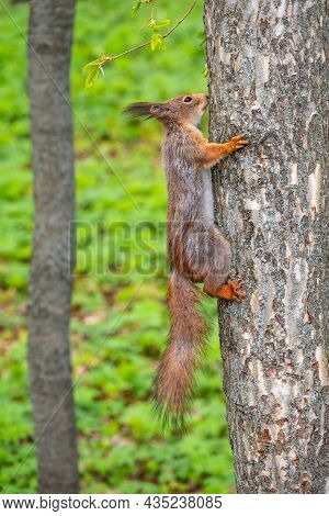 The Squirrel Sits On A Tree Trunk In The Spring. Eurasian Red Squirrel, Sciurus Vulgaris