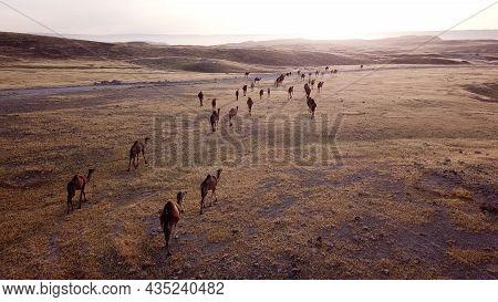 Camel Caravan Going Through The Sand Dunes In The Desert.