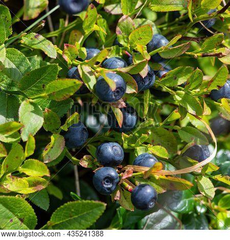 Bush Of A Ripe Bilberry Closeup. Bush Berries High In The Mountains