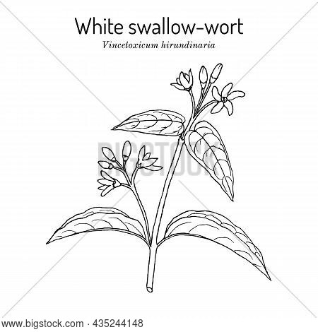 White Swallow-wort Vincetoxicum Hirundinaria , Medicinal Plant. Hand Drawn Botanical Vector Illustra