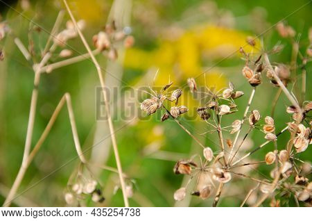 Selective Focus Inflorescences Of Dry Grass On Green Background With Copy Space. Withered Dry Plant