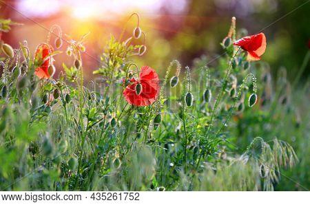 wild poppy flowers on spring green meadow