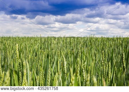 Landscape with green bread field under spring sky