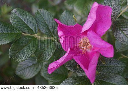Rosehip Bush Bright Pink Flowers. Blooming Rosehip Flower, Beautiful Pink Flower On A Bush Branch. B