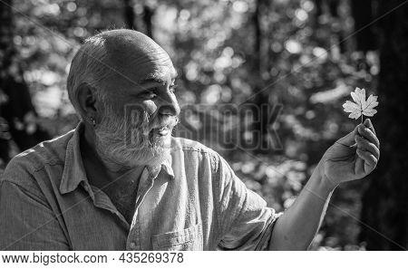 Fallen Leaf. Pensioner Hold Autumn Leaf Outdoors. Elderly Man Look At Yellow Leaf In Woodland. Leaf