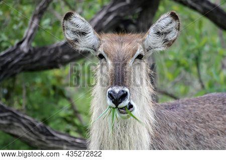 Female African Antelope Waterbuck Or Kobus Ellipsiprymnus Eats Grass. Portrait Of A Female Kobus Che
