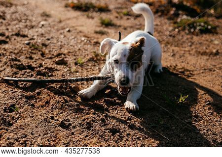 A Jack Russell Terrier Puppy Lies On The Ground And Nibbles A Stick On A Sunny Autumn Day