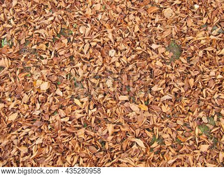 Soil Ground Covered With Beech Leaves In Late Autumn