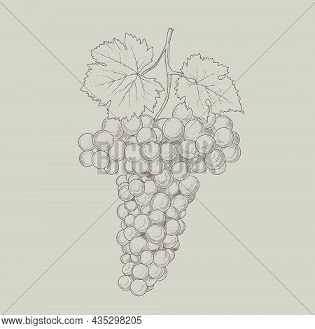 Grape Wine, Grapes And Vines - Vector Engraved Illustration. Vintage Bunch Of Grapes