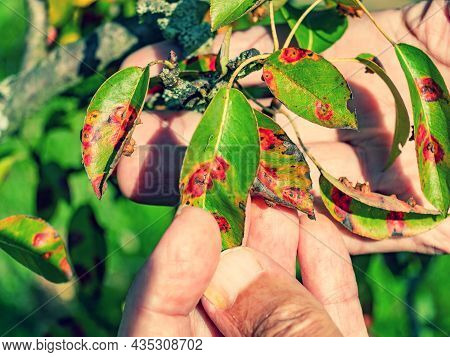 Red Dots Disease Of Pear Leaves. Puccinia Recondita Spots. Gardener Shows Damage To Rot And Parasite