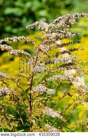 Selective Focus Inflorescences Of Dry Grass On Green And Yellow Background With Copy Space. Natural