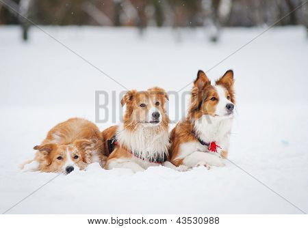 Three Dogs Lying On The Snow In Winter