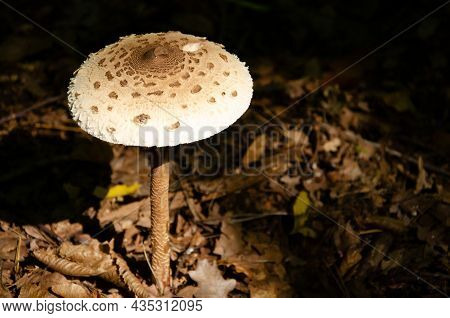 Amanita Mushroom Texture In Autumn Forest With Copy Space. Brown Big Hat Of Mushroom On High Stalk O