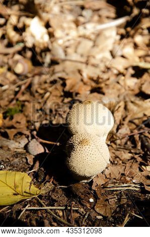 White Thorny Mushrooms Grow In Autumn Forest With Copy Space. Puffballs Texture On Background Of Dry
