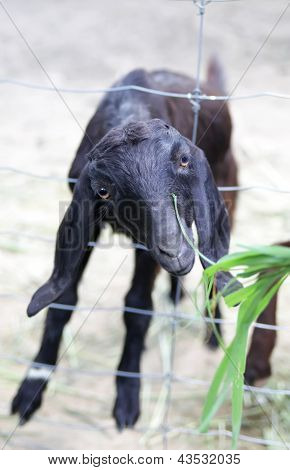 Black young hungry goat asks to eat poster