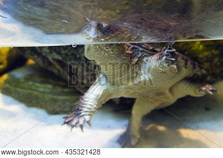 A Dangerous, Alert, Curious And Aggressive Snapping Turtle In A Tank Of Water