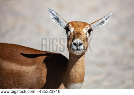 Blackbuck And Indian Antelope. Mammal And Mammals. Land World And Fauna. Wildlife And Zoology. Natur