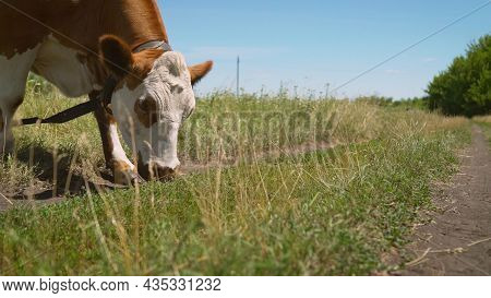 Red And White Cow Eats Grass In A Meadow. A Cow Eats Grass In A Meadow.