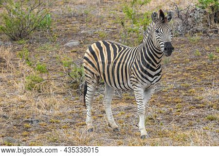 Beautiful Striped Zebra In Kruger National Park Safari South Africa.