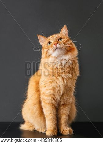 Cute Ginger Cat With Curious Expression On Face. Fluffy Pet Sits On Black Background. Fuzzy Mammal W