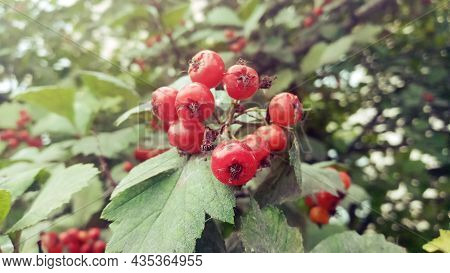 Red Fruit Of The Hawthorn Crataegus, Close-up. Crataegus, Commonly Called Quickthorn, Thornapple, Ma