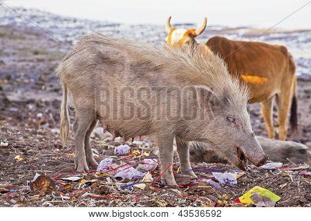 Javali e uma vaca remexer o lixo para alimentos