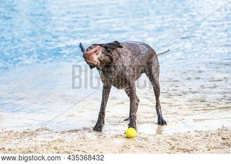 Detailed German Short Haired Pointer Stands On The Sand. The Dog Shakes Off After Swimming In The Bl