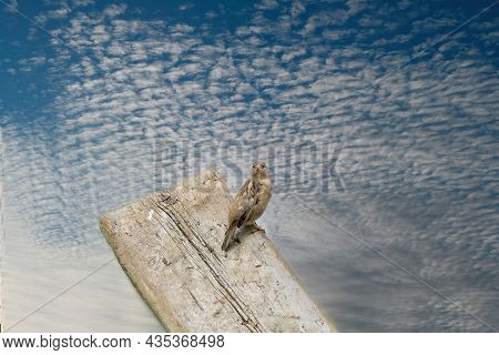 House Sparrow Seen From Behind, Head Turned Towards The Camera. The Bird Sits On A Wooden Plank With