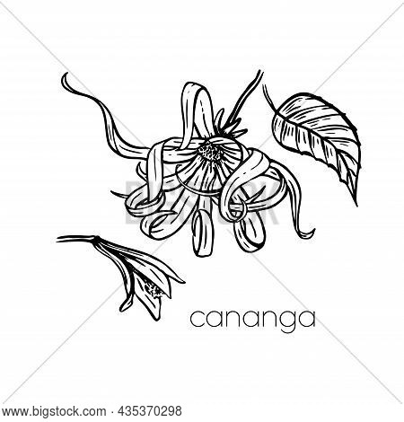 Asia Beauty Sketch. Ylang Ylang Flower Cananga In Hand Drawn Style On White Background.