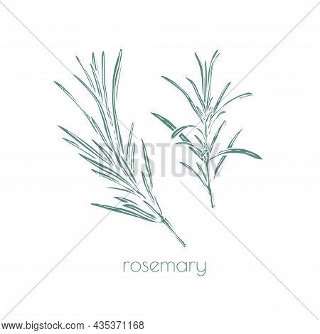 Rosemary Drawn, Great Design For Any Purposes. Vintage Engraving. Hand-drawn Vector Illustration. Wh