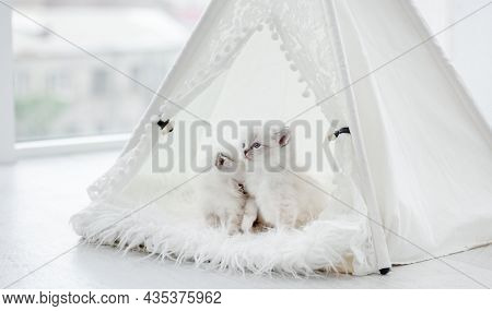 Two small cute ragdoll kittens sitting close to each other inside white curtain tent on fur. Adorable purebred little kitty cats during studio photoshoot