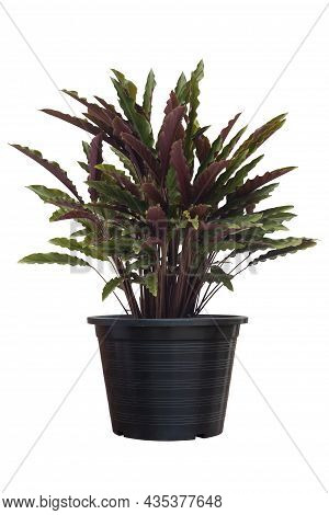 Calathea Rufibarba Fenzl Or Furry Feather Calathea In Black Plastic Pot It Is An Air Purifying Plant