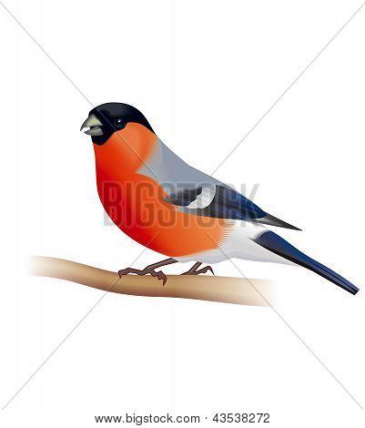 Bullfinch bird