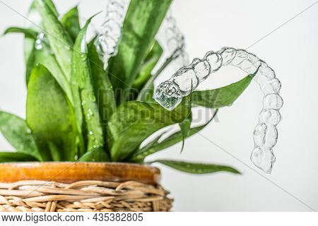 Invisible Braces Weigh On Green Leaves Of Home Plant On White Background