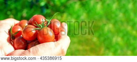 Ripe Red Cherry Tomatoes In Womans Hand. Banner Format. Woman Holding Farms Produce. Organic Eco Pla