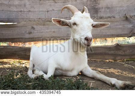 Cute Domestic Goat On Farm. Animal Husbandry