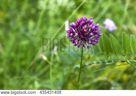 Wild Onion Flower. A Voluminous Spherical Inflorescence Of Purple Color With Small Seeds. Side View.