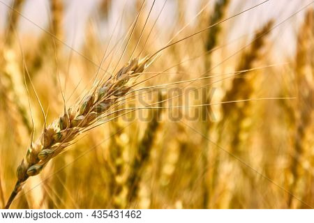 A Spitting Golden Ear Of Wheat, Tilted By The Wind, Close-up Against The Background Of A Golden Fiel