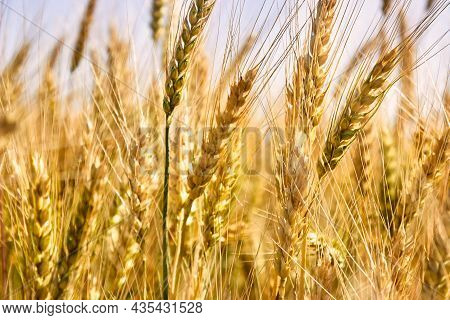 Spiking Golden Ears Of Wheat Close-up On The Background Of A Golden Field. The Theme Of Agriculture,