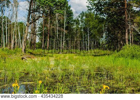 Marshes Of Europe. Green Grass And Blooming Flowers Grow In The Swamp. Summer Day On Nature. Swamp V