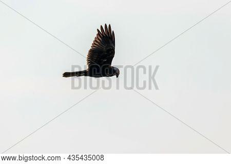 Western Marsh Harrier In Flight (circus Aeruginosus)
