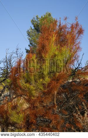 A Partially Burnt Young Pine Tree, After A Wildfire In The Judea Mountains Near Jerusalem, Israel.