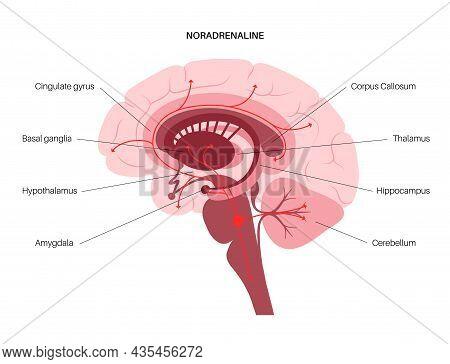 Norepinephrine Hormones Pathway In Human Brain. Noradrenaline Or Noradrenalin Neurotransmitter Conce