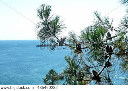 Large Pine Branches With Cones On The Background Of The Blue Sea On A Sunny Summer Day. The Resort C