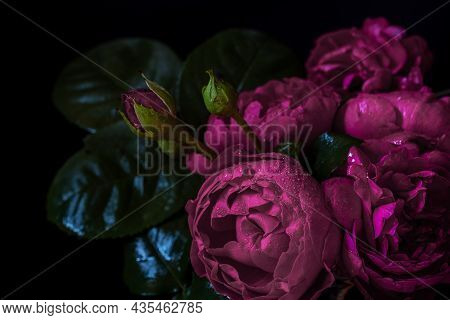 Moody Flowers. Roses Peony Purple On A Black Background. Blur And Selective Focus. Extreme Flower Cl