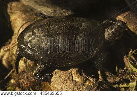 European Pond Turtle,  European Pond Terrapin, European Pond Tortoise (emys Orbicularis).