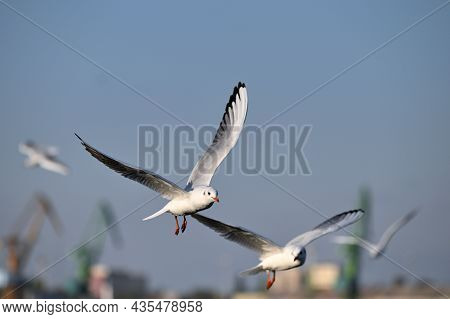 Sea Seagulls, White Seagulls, Flying Seagulls At Sea Port, Animals In Nature
