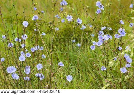 Common Chicory In Bloom Close-up Landscape View Of It